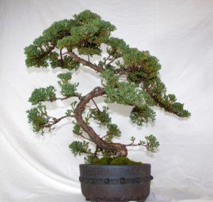 bonzi-juniper